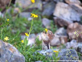 カナダ・ロッキー山脈 花の中のキンイロジリス.jpg